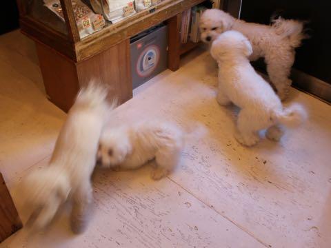 ビションフリーゼ子犬フントヒュッテこいぬ家族募集里親関東_2843.jpg