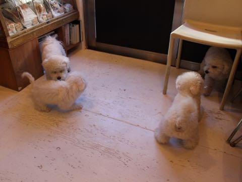 ビションフリーゼ子犬フントヒュッテこいぬ家族募集里親関東_2845.jpg