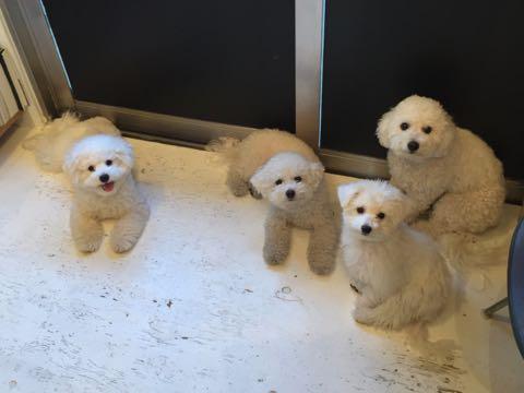 ビションフリーゼ子犬フントヒュッテこいぬ家族募集里親関東_2850.jpg