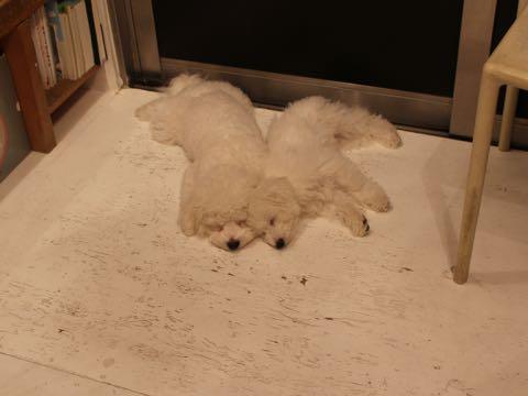 ビションフリーゼ子犬フントヒュッテこいぬ家族募集里親関東_2851.jpg