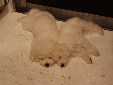 ビションフリーゼ子犬フントヒュッテこいぬ家族募集里親関東_2852.jpg