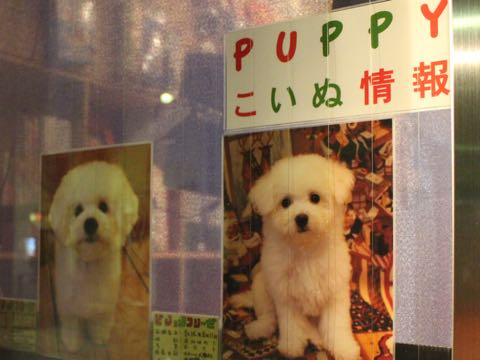 ビションフリーゼ子犬フントヒュッテこいぬ家族募集里親関東_2853.jpg