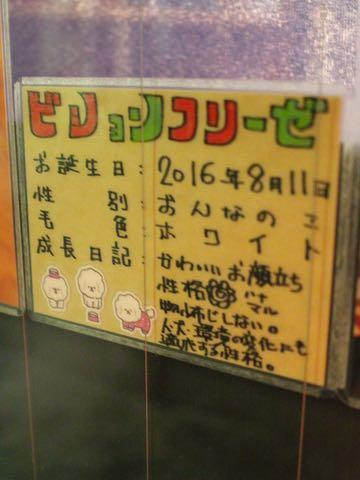 ビションフリーゼ子犬フントヒュッテこいぬ家族募集里親関東_2854.jpg