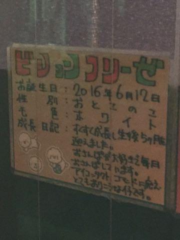 ビションフリーゼ子犬フントヒュッテこいぬ家族募集里親関東_2855.jpg