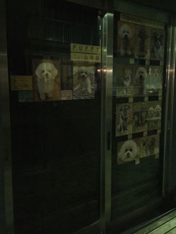 ビションフリーゼ子犬フントヒュッテこいぬ家族募集里親関東_2856.jpg