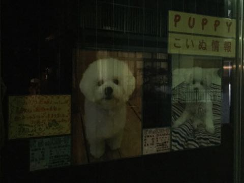 ビションフリーゼ子犬フントヒュッテこいぬ家族募集里親関東_2857.jpg