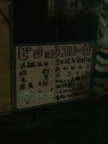 ビションフリーゼ子犬フントヒュッテこいぬ家族募集里親関東_2859.jpg