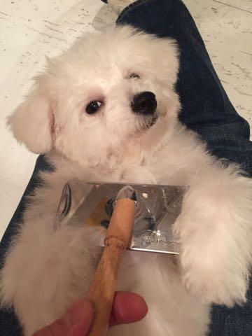 ビションフリーゼ子犬フントヒュッテこいぬ家族募集里親関東_2861.jpg