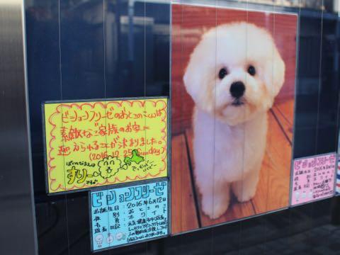 ビションフリーゼ子犬フントヒュッテこいぬ家族募集里親関東_2865.jpg