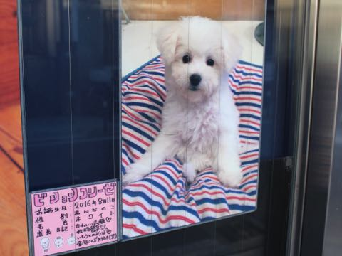 ビションフリーゼ子犬フントヒュッテこいぬ家族募集里親関東_2866.jpg