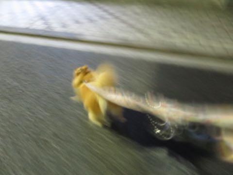 ポメラニアントリミング画像ポメサマーカットフントヒュッテ文京区ペットホテル都内hundehutte東京ドッグホテル駒込犬ホテル料金_12.jpg