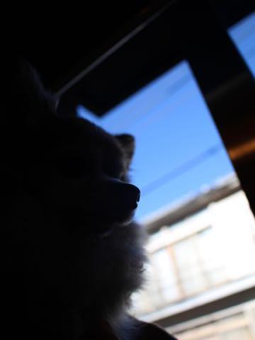 チワワトリミング文京区フントヒュッテチワワサマーカット画像ペットホテル東京ドッグホテル様子おさんぽ犬ホテル料金hundehutte駒込_31.jpg