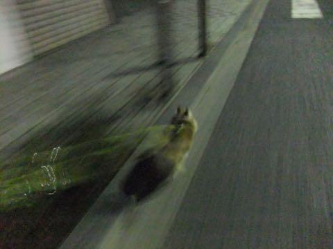 チワワトリミング文京区フントヒュッテチワワサマーカット画像ペットホテル東京ドッグホテル様子おさんぽ犬ホテル料金hundehutte駒込_39.jpg