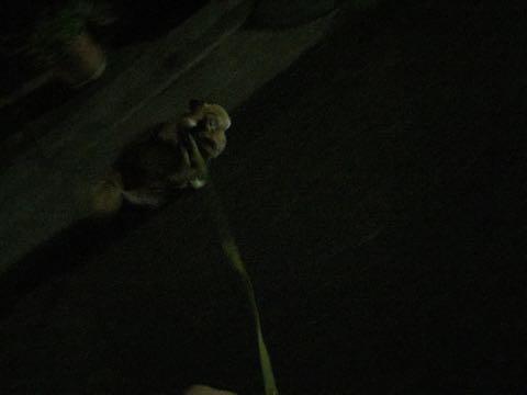 チワワトリミング文京区フントヒュッテチワワサマーカット画像ペットホテル東京ドッグホテル様子おさんぽ犬ホテル料金hundehutte駒込_45.jpg