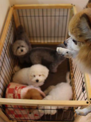 ビションフリーゼ子犬フントヒュッテこいぬ家族募集里親関東_2869.jpg