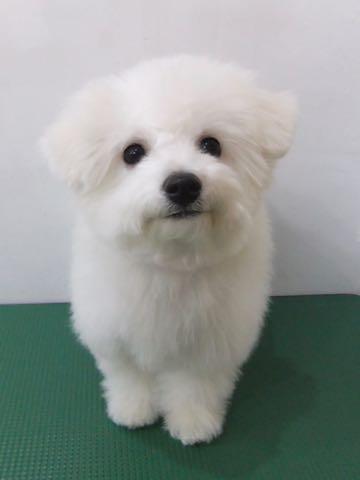 ビションフリーゼ子犬フントヒュッテこいぬ家族募集里親関東_2880.jpg