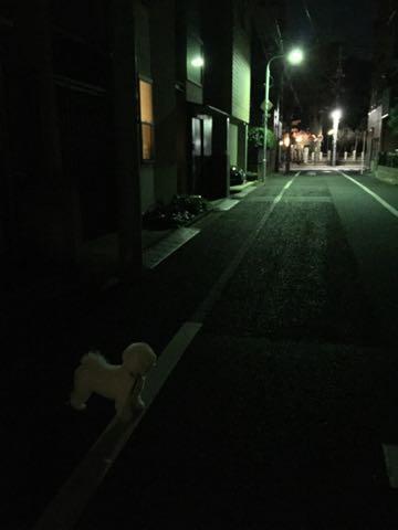 ビションフリーゼ子犬フントヒュッテこいぬ家族募集里親関東_2883.jpg