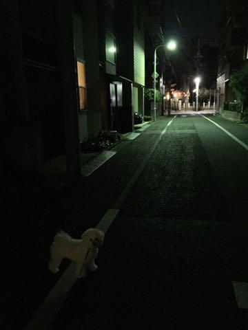 ビションフリーゼ子犬フントヒュッテこいぬ家族募集里親関東_2885.jpg