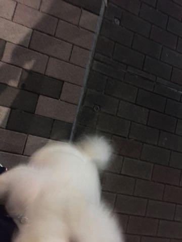 ビションフリーゼ子犬フントヒュッテこいぬ家族募集里親関東_2889.jpg