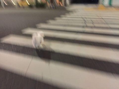 ビションフリーゼ子犬フントヒュッテこいぬ家族募集里親関東_2890.jpg