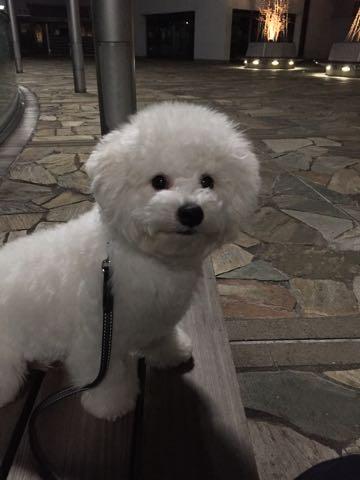 ビションフリーゼ子犬フントヒュッテこいぬ家族募集里親関東_2895.jpg