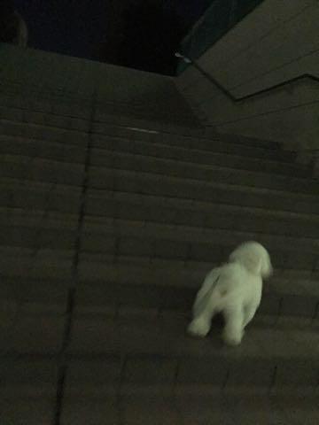 ビションフリーゼ子犬フントヒュッテこいぬ家族募集里親関東_2899.jpg