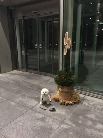 ビションフリーゼ子犬フントヒュッテこいぬ家族募集里親関東_2900.jpg