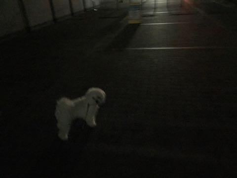ビションフリーゼ子犬フントヒュッテこいぬ家族募集里親関東_2903.jpg