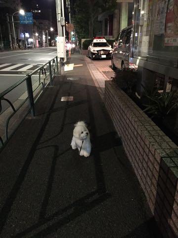 ビションフリーゼ子犬フントヒュッテこいぬ家族募集里親関東_2904.jpg