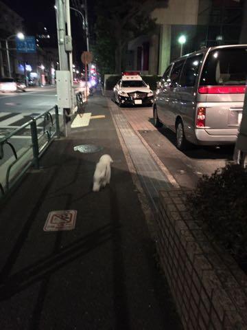 ビションフリーゼ子犬フントヒュッテこいぬ家族募集里親関東_2905.jpg