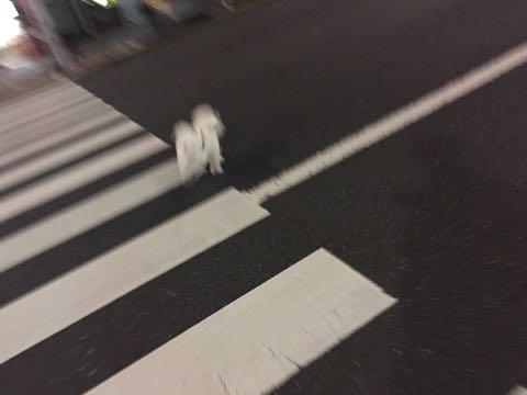 ビションフリーゼ子犬フントヒュッテこいぬ家族募集里親関東_2906.jpg