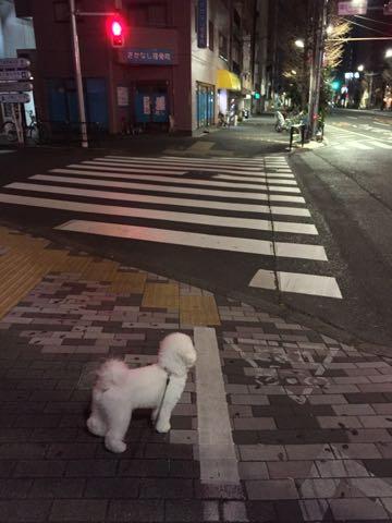 ビションフリーゼ子犬フントヒュッテこいぬ家族募集里親関東_2908.jpg