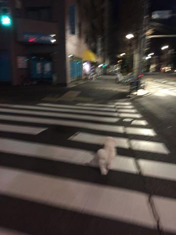 ビションフリーゼ子犬フントヒュッテこいぬ家族募集里親関東_2909.jpg