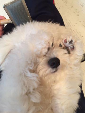 ビションフリーゼ子犬フントヒュッテこいぬ家族募集里親関東_2913.jpg