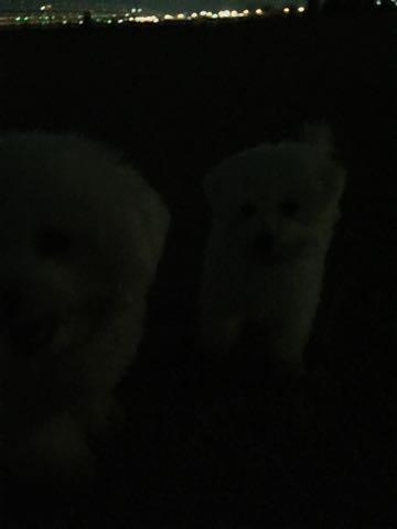 ビションフリーゼ子犬フントヒュッテこいぬ家族募集里親関東_2928.jpg