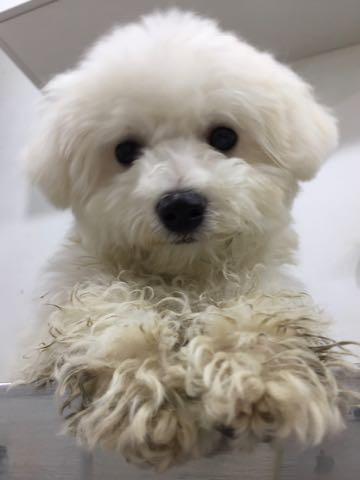 ビションフリーゼ子犬フントヒュッテこいぬ家族募集里親関東_2937.jpg
