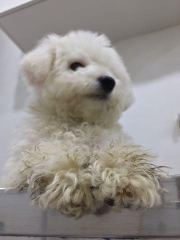 ビションフリーゼ子犬フントヒュッテこいぬ家族募集里親関東_2938.jpg