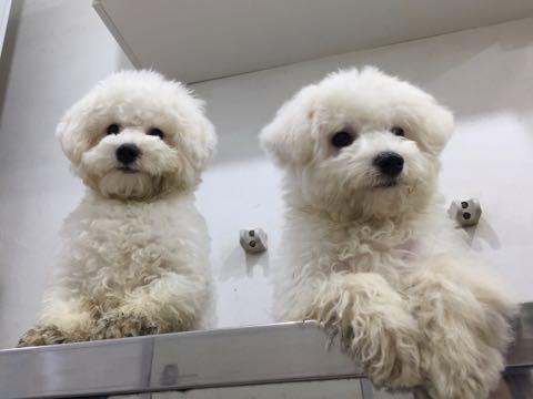 ビションフリーゼ子犬フントヒュッテこいぬ家族募集里親関東_2939.jpg
