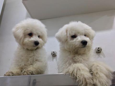 ビションフリーゼ子犬フントヒュッテこいぬ家族募集里親関東_2940.jpg
