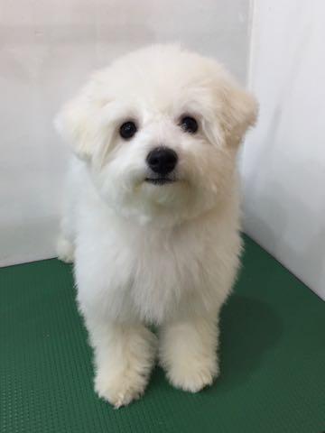 ビションフリーゼ子犬フントヒュッテこいぬ家族募集里親関東_2942.jpg