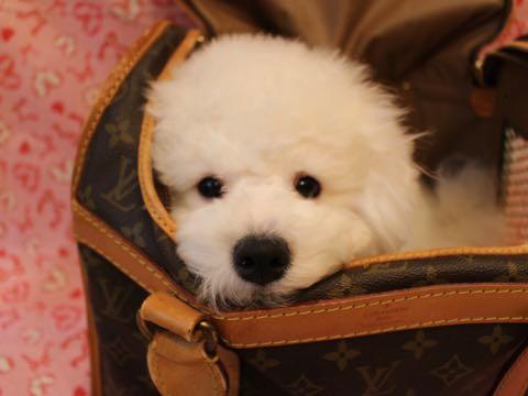ビションフリーゼ子犬フントヒュッテこいぬ家族募集里親関東_2950.jpg