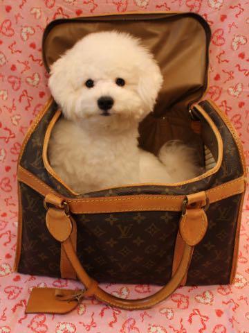 ビションフリーゼ子犬フントヒュッテこいぬ家族募集里親関東_2953.jpg