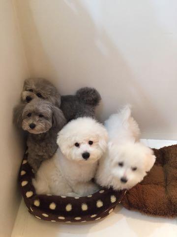 ビションフリーゼ子犬フントヒュッテこいぬ家族募集里親関東_2956.jpg