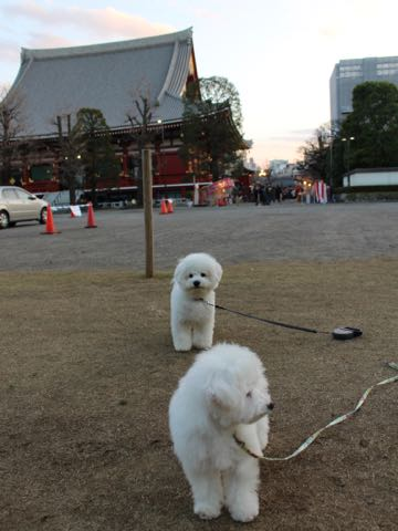 ビションフリーゼ子犬フントヒュッテこいぬ家族募集里親関東_2957.jpg