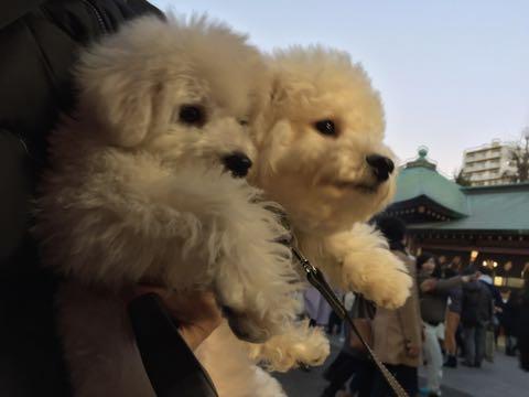 ビションフリーゼ子犬フントヒュッテこいぬ家族募集里親関東_2963.jpg