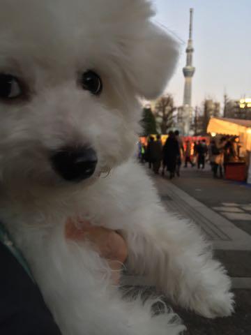 ビションフリーゼ子犬フントヒュッテこいぬ家族募集里親関東_2965.jpg