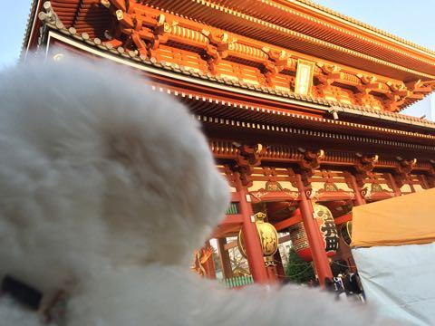 ビションフリーゼ子犬フントヒュッテこいぬ家族募集里親関東_2967.jpg