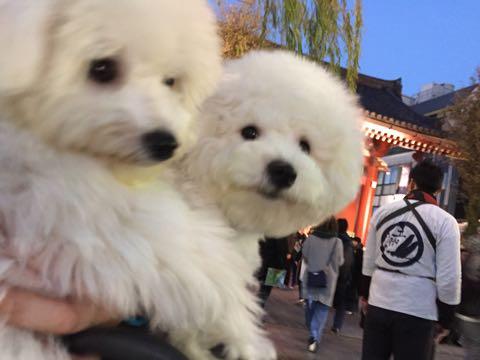 ビションフリーゼ子犬フントヒュッテこいぬ家族募集里親関東_2971.jpg