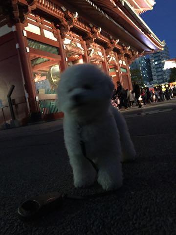 ビションフリーゼ子犬フントヒュッテこいぬ家族募集里親関東_2972.jpg
