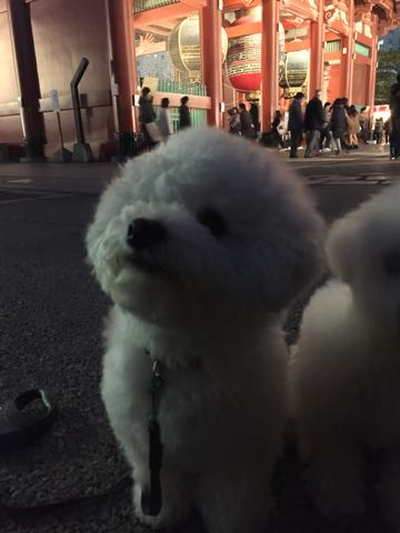 ビションフリーゼ子犬フントヒュッテこいぬ家族募集里親関東_2973.jpg